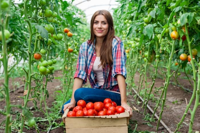 harvest the tomatoes
