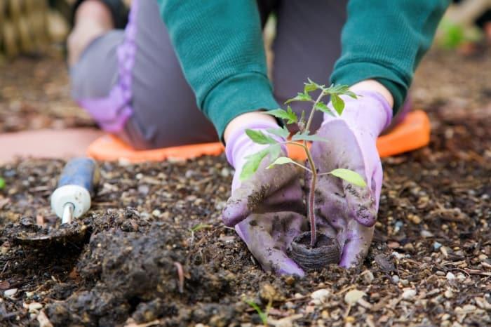 planning your tomato garden