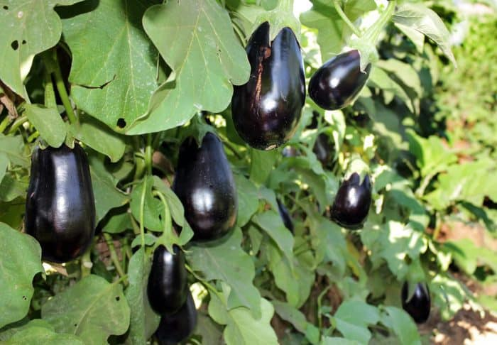 vertical garden eggplants