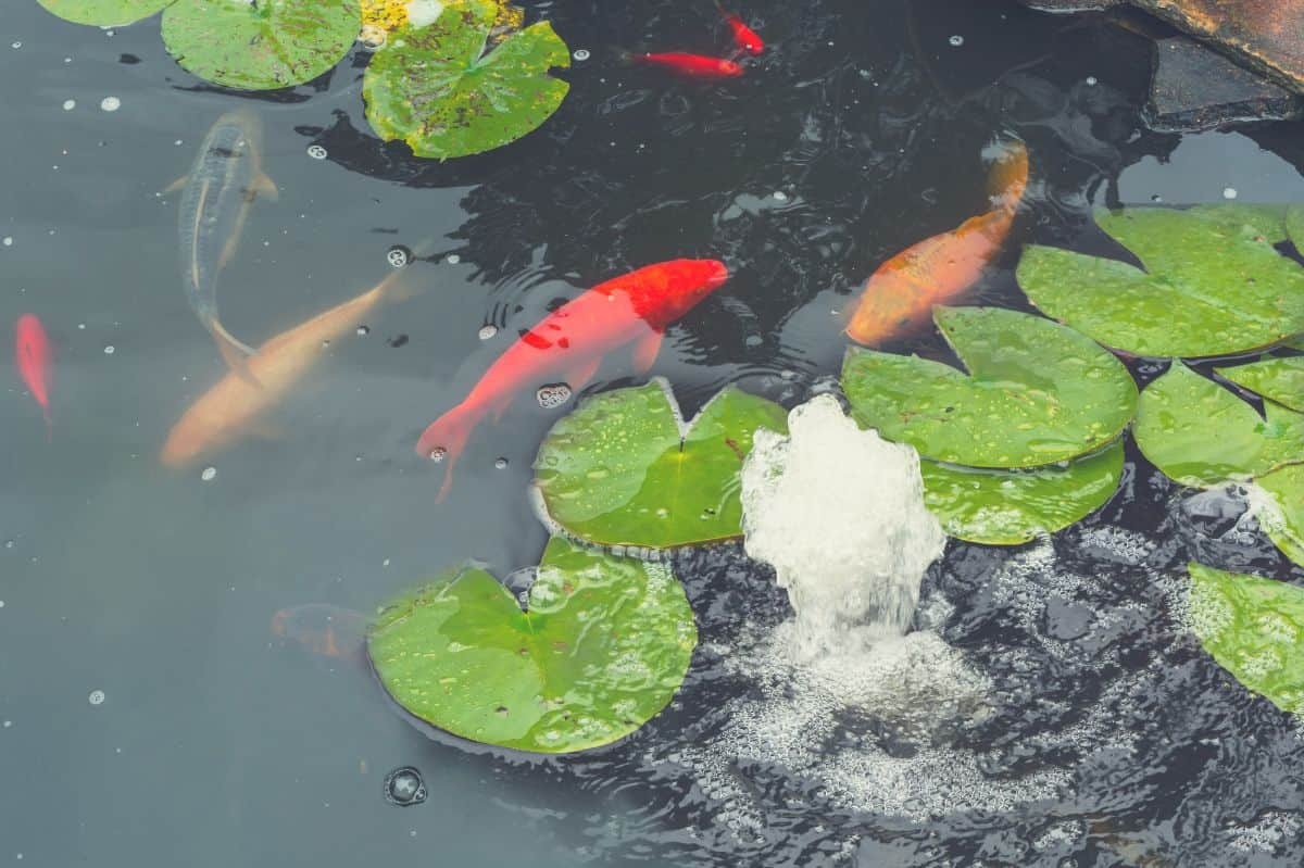 koi fish and plants in the pond