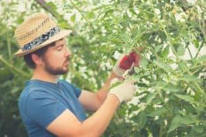 gardener pruning tomato plant