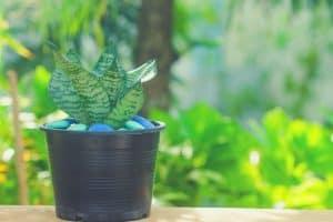snake plant care