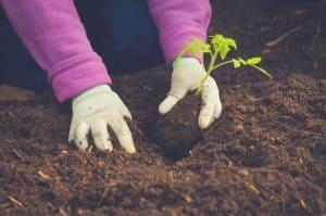gardener planting in no-till garden