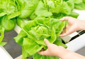 gardener growing vegetable with aquaponics