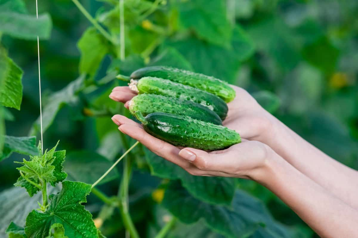 cucumbers on a plant