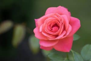 pink rose plant in the garden