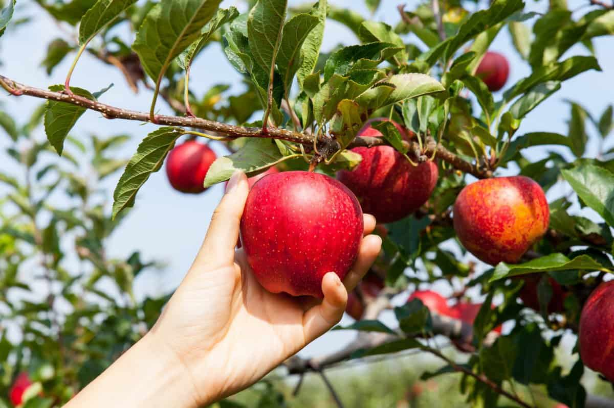 picking apples from trees
