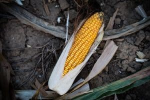 corn stalk in the garden