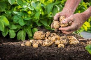 farmer harvesting potatoes
